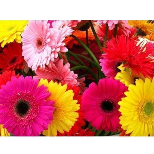 Gerberas - Floricultura Mel Flores