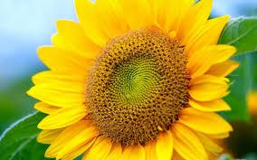 Floricultura - Girassol - Mel Flores